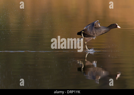 Eurasian coot coot coots Fulica atra take off taking off water lake pond flight flying flapping wings Europe European - Stock Photo