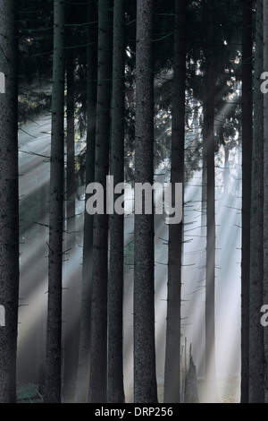 Norway spruces / European spruce (Picea abies) and sunrays shining through trees of coniferous forest in the mist - Stock Photo