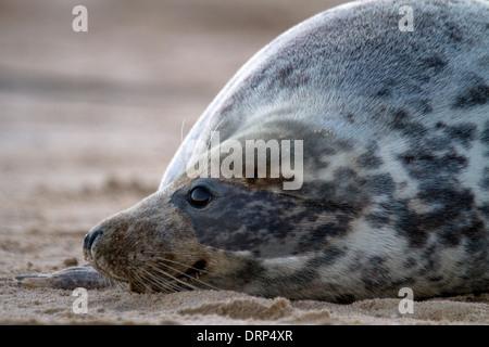 Female Grey Seal, Halichoerus grypus portrait on the beach - Stock Photo
