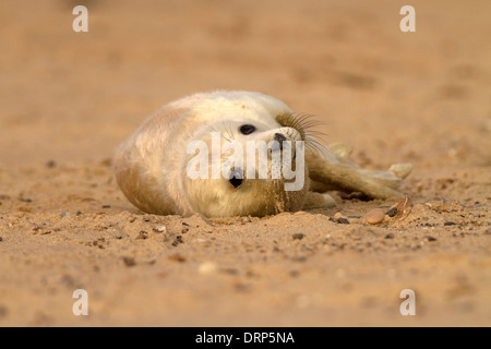 Grey Seal, Halichoerus grypus pup - Stock Photo