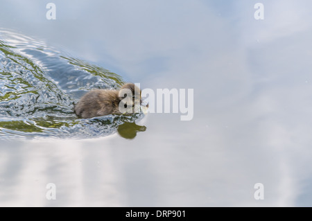 beautiful baby goose swimming in a pond in regent park - Stock Photo