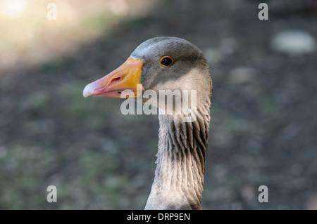 Grey goose in a park looking toward you. Face closeup - Stock Photo