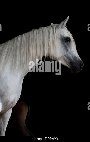 Pure white Arabian mare standing against a black backdrop with the tail end of her foal almost hidden from view - Stock Photo