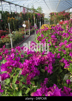 Variuos colors of Bougainvillea growing in a nursery hot house - Stock Photo