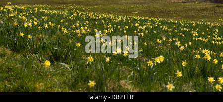 Wild daffodils blooming in the woods on the German Belgian border in the Eifel region - Stock Photo