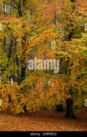Autumn beech trees in Hazelwood forest, County Sligo, Ireland. - Stock Photo