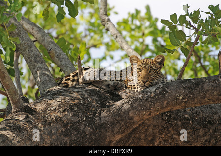 Leopard (Panthera pardus) resting in a tree during the hottest part of the day. - Stock Photo