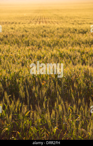 Fields of wheat in warm afternoon light, growing near Griffith, NSW, Australia - Stock Photo