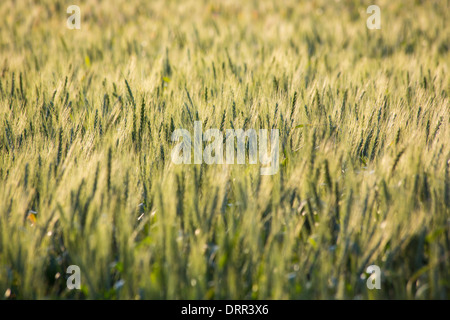 Wheat growing in a field in warm afternoon light, near Griffith, NSW, Australia - Stock Photo