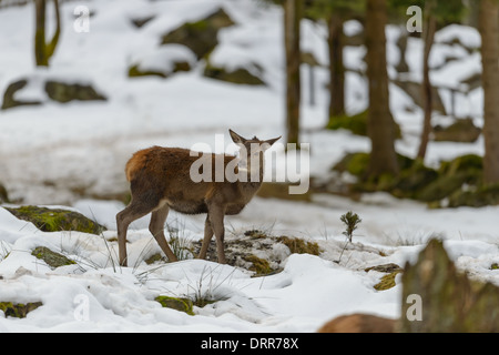 Hirschkuh Rothirsch, Cervus elaphus, female red deer