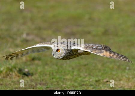 Waldohreule ,Asio otus, long eared owl Stock Photo