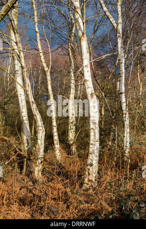 White barked Silver Birch trees Betula pendula in woodland on the Somerset levels UK in winter - Stock Photo