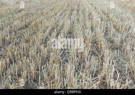 Wheat Stubble Lines on the Field after the Harvest - Stock Photo
