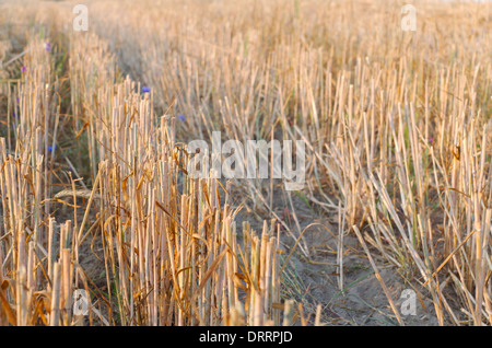 Wheat Stubble Close-up on the Field after the Harvest - Stock Photo