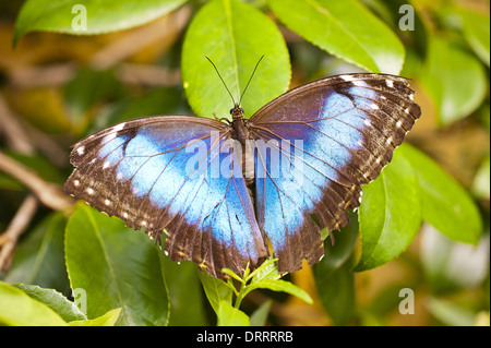 Caligo eurilochus - Stock Photo