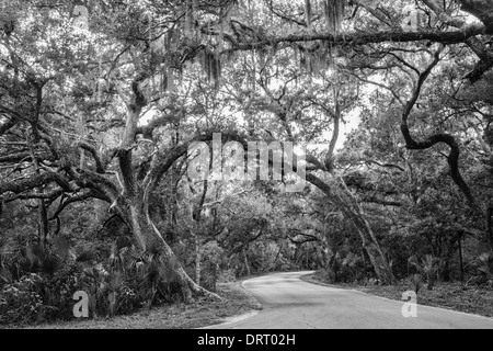 Twisted old live oak trees (Quercus virginiana) arc over a road in Fort Clinch State Park, Florida converted to - Stock Photo