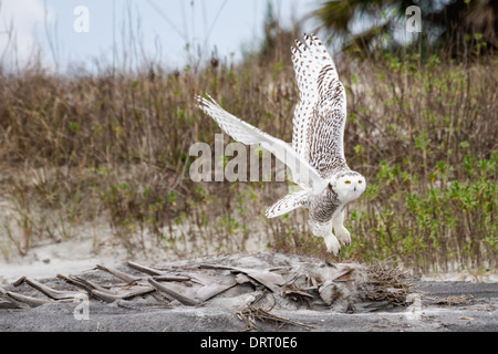 A snowy owl (Bubo scandiacus) in flight at Little Talbot Island State Park, Florida, USA. - Stock Photo