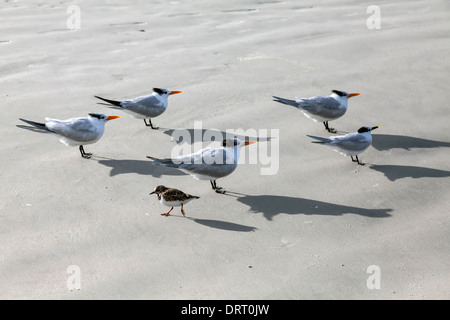 Small, ruddy turnstone with winter plumage passes in opposite direction to a flock of Royal and Sand Terns on Daytona - Stock Photo