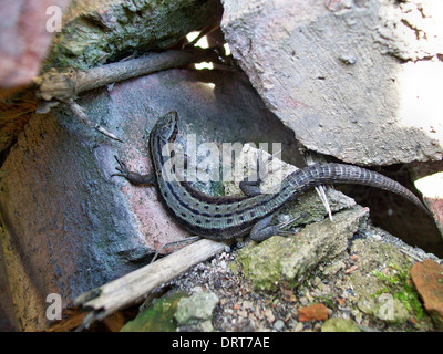 Lizard basking in the sun on the rocks brick - Stock Photo