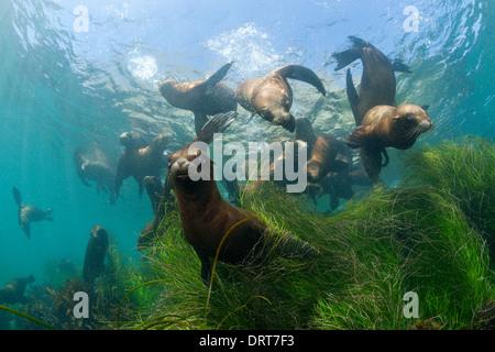 Playing California Sea Lion, Zalophus californianus, Cedros Island, Mexico - Stock Photo