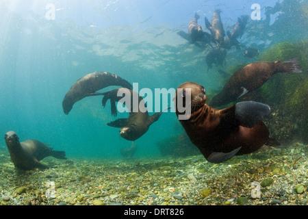 Playing California Sea Lion, Zalophus californianus, San Benito Island, Mexico - Stock Photo