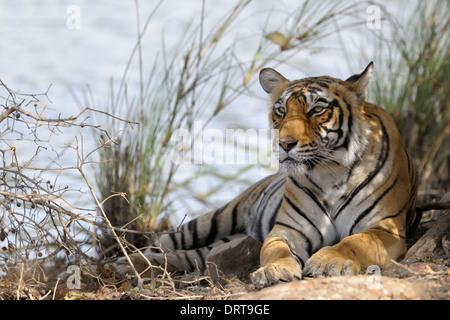 Bengal tiger ( Panthera tigris tigris ) lying in forest. - Stock Photo