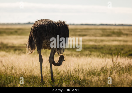 Close up of a  single Ostrich standing alone in the Namibian desert - Stock Photo