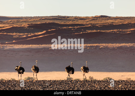 Four ostriches walk in a row on desert sand in Namibia - Stock Photo