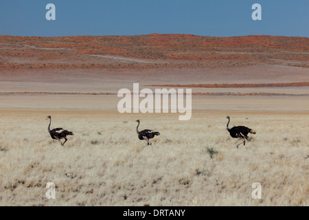 Three ostriches race across grassland in Namibia desert - Stock Photo