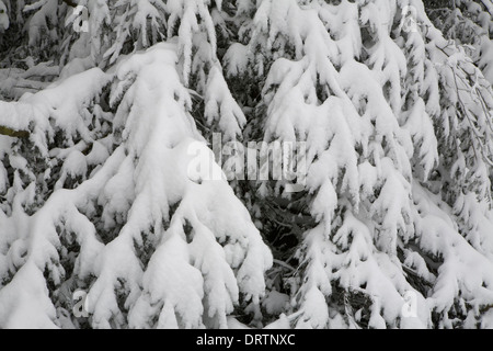 Snow is piled up on top of the branches of a coniferous tree, Malvern Hills, Worcestershire. - Stock Photo