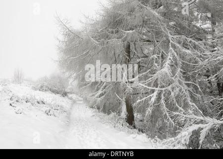 A snow covered European Larch tree, Larix Decidua, hangs over a footpath on the Malvern Hills. - Stock Photo