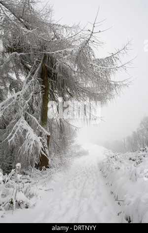 A snow covered European Larch tree, Larix Decidua, hangs over a footpath on Jubilee Hill on the Malvern Hills. - Stock Photo