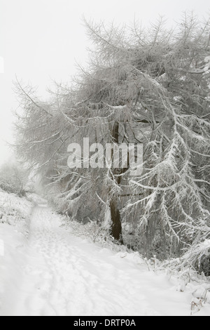 A snow covered European Larch tree, Larix Decidua, hangs over a footpath on the Malvern Hills. - Stock Photo