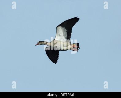 Egyptian Goose Alopochen aegyptiacus - Stock Photo