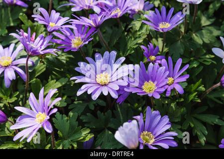 Anemone Blanda BLUE SHADES at Keukenhof Gardens in The Netherlands. - Stock Photo