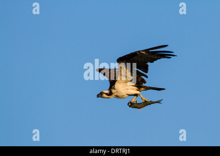 An osprey (pandion haliaetus) in flight with a freshly caught fish set against a blue sky. - Stock Photo