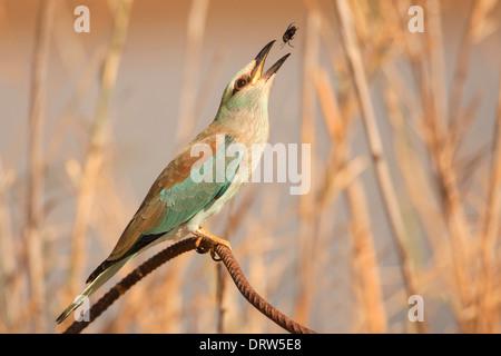 European roller (Coracias garrulus) on a branch. - Stock Photo