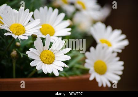 Large daisy-like flowers - Stock Photo