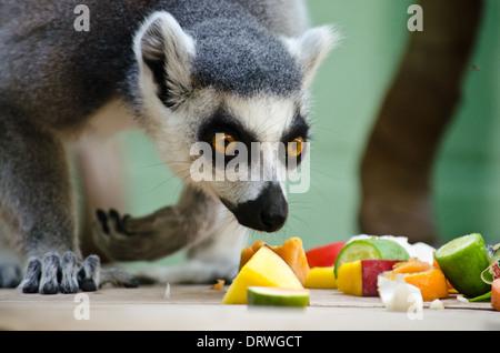 Ring tailed lemur feeding on fruit - Stock Photo