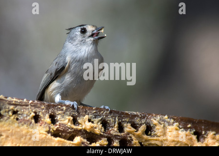 Black-crested Titmouse Baeolophus atricristatus Davis Mountains State Park Texas USA - Stock Photo