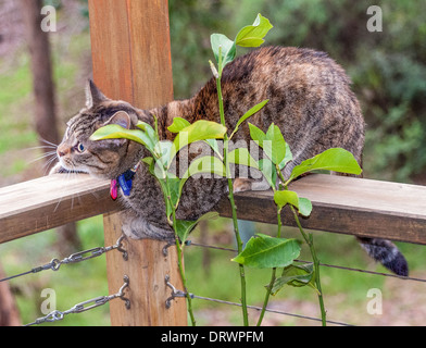 Tabby cat playing on a balcony rail - Stock Photo