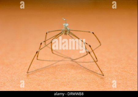 spider with long curled up legs in close up - Stock Photo