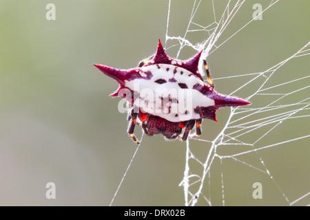 Spiny-backed Orbweaver (Gasteracantha cancriformis) on its web - Stock Photo
