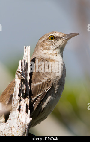 Bahama Mockingbird (Mimus gundlachii) - Stock Photo