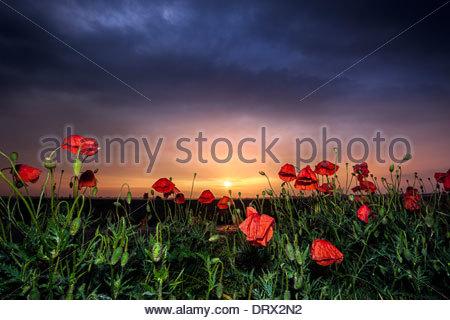 Poppy field, Banovo Polje, Serbia - Stock Photo