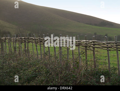 Newly laid traditional hedging in East Sussex, at the foot of the South Downs - Stock Photo