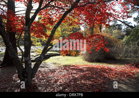 Acer tree - Stock Photo
