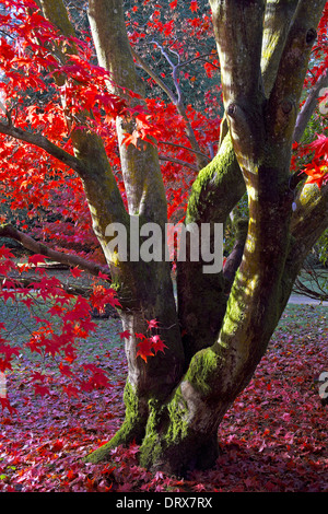 Red Acer Tree - Stock Photo