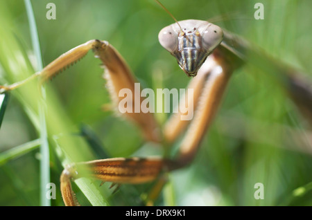 Close up shot of a Praying Mantis head with forearms. - Stock Photo