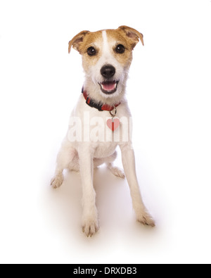 jack russell dog sitting wearing heart tag on collar isolated on white - Stock Photo